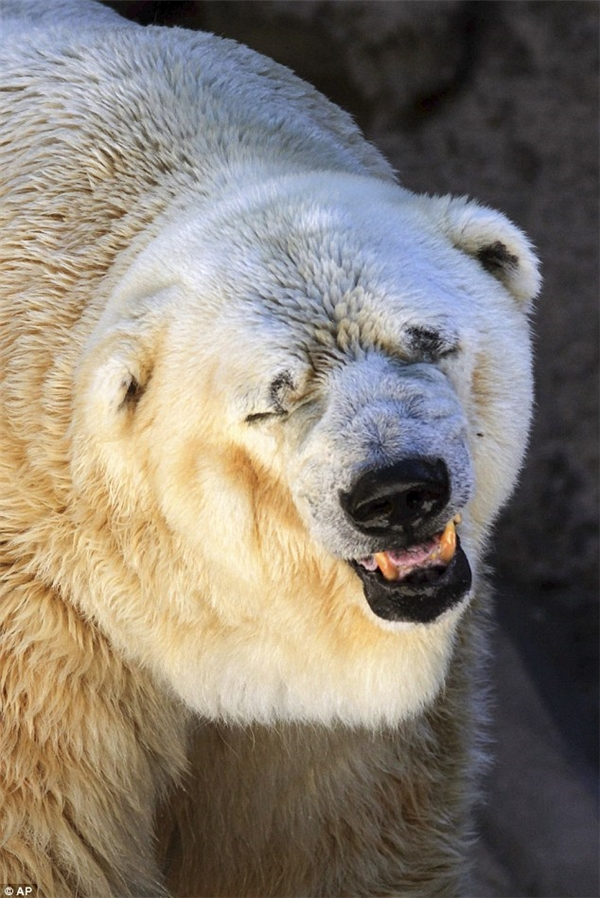 """Chân dung """"chú gấu Bắc cực buồn nhất thế giới"""""""