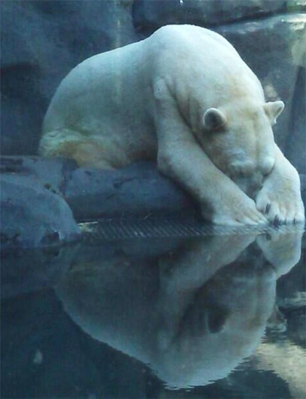Đau lòng giây phút cuối đời của chú gấu Bắc cực buồn nhất thế giới