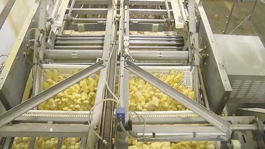 Sau đó chúng sẽ đưađược những máy loại bỏ vỏ trứng.(Ảnh:Animal Equality Youtube)