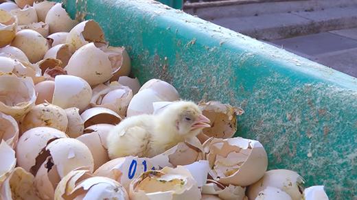 Vỏ trứnggà sẽ được đem đi đập nát, thi thoảng sẽcòn có những con gà chưa kịp nở.(Ảnh:Animal Equality Youtube)