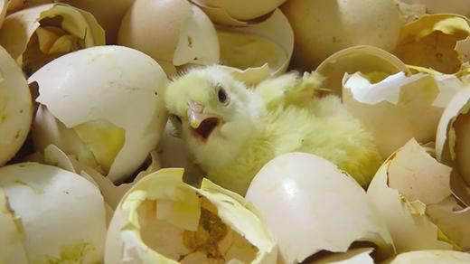 """Đáng lẽ lúc mới sinh ra, gà con phải được ấp ủ trong lòngmẹ để cảm nhận được sự an toàn, thế nhưng những chú gà này lại chứng kiến ngay """"án tử"""" khi vừa mở mắt.(Ảnh:Animal Equality Youtube)"""