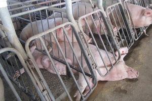 Những bí mật đáng sợ đằng sau ngành công nghiệp chăn nuôi