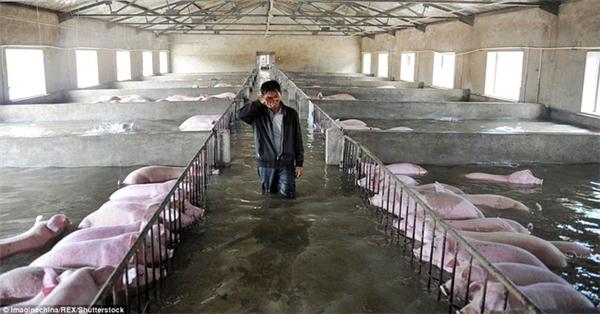 Hình ảnh đáng thương: Chết lặng nhìn 6.000 con heo chìm vào biển nước