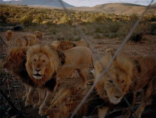 Hình ảnh tại trại nuôi sư tử ở tỉnh Eastern Cape, Nam Phi. (Ảnh: Internet)
