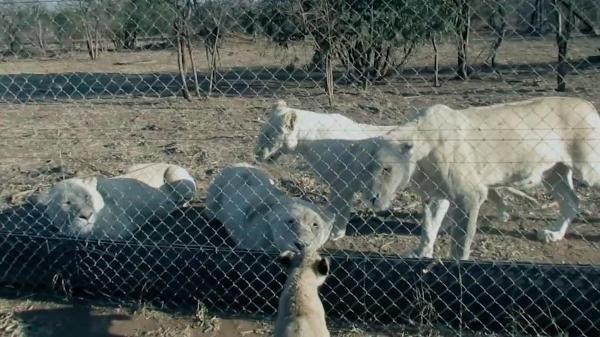 Cả sư tử mẹ và sư tử con đều gặp phải những thương tổn về mặt sức khỏe và tâm lí không không được sống cùng nhau. (Ảnh: Internet)