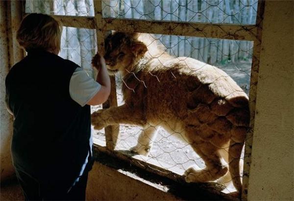 Những chú sư tử này phải sống trong môi trường bẩn thỉu, bị cho ăn thịt thối và chăm sóc qua loa. (Ảnh: Internet)