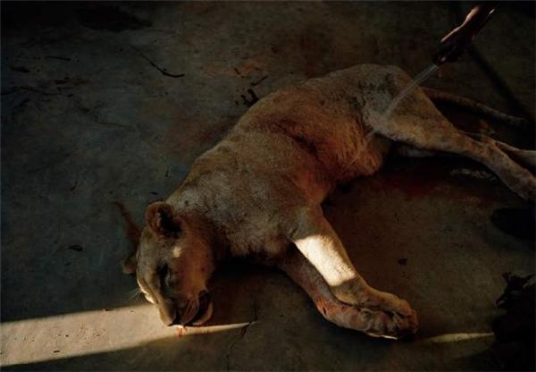 Một chú sư tử cái sau khi bị một thợ săn, bị bắn hạ bằng cung tên. Nó được rửa sạch vết máu trước khi các nhân viên tiến hành lột da. (Ảnh: Internet)