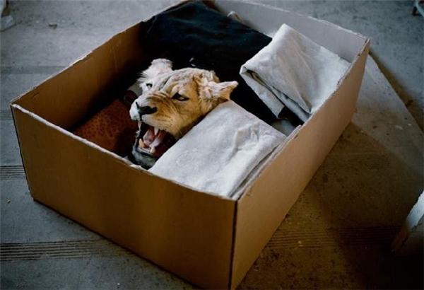 Đầu sư tử được chất trong một kiện hàng để đưa về Mỹ. (Ảnh: Internet)