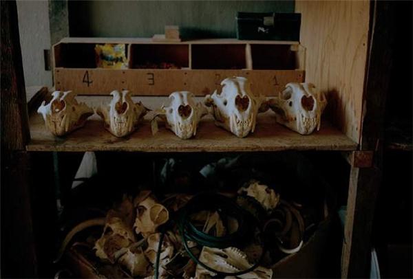 Hộp sọ và xương sư tử trong phòng trưng bày ở nơi chuyên nhồi xác động vật. (Ảnh: Internet)