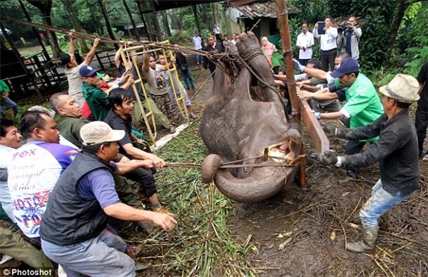 Những nhân viên vườn thúđang cố gắng đưa chú voi ra khỏi chuồng tới một nơi trống trải hơn để chôn cất.(Ảnh: Internet)