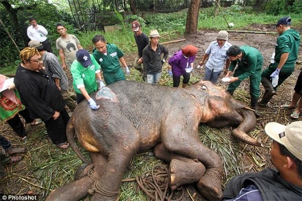 Những vết loét trên da của chú voi tội nghiệp.(Ảnh: Internet)