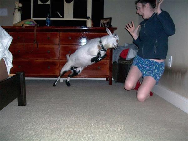 Ai bảo nuôi dê làm thú cưng là vui cả ngày?