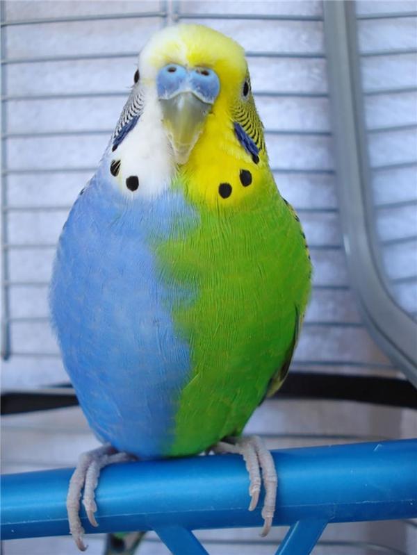 Vẹt đuôi dài với sắc lông xanh lá pha trộn xanh dương, một nét đẹp khác từ thiên nhiên.