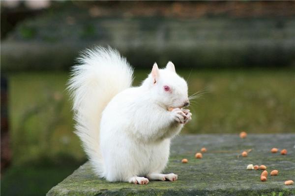 Vì bị bạch tạng mà chú sóc này cólông trắng và đôi mắt đỏ.
