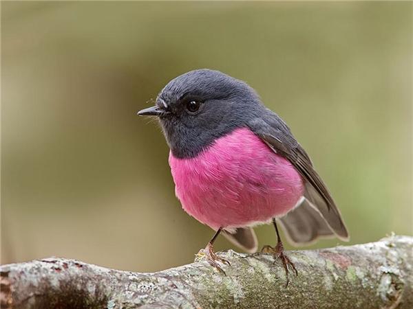 Chim Cổ Đỏ hồng.