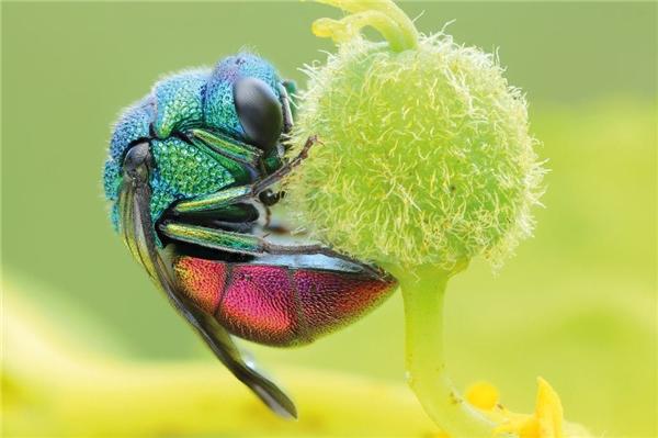 Ong vò vẽ Cuckoo, màu mènhất thế giới loài ong rồi.