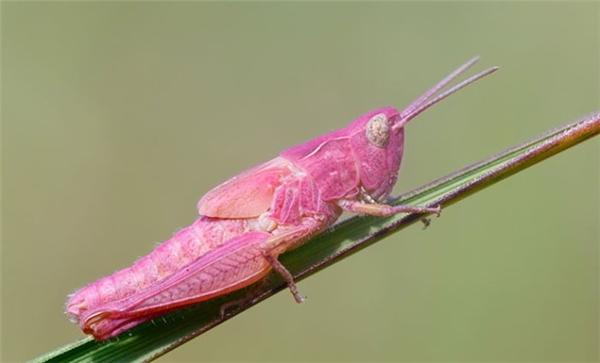 Loài Cào Cào cũng đua đòi màu hồng cho bằng anh, bằng chị.