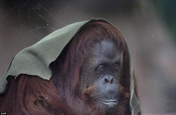 Con đười ươi tên Sandra ngồi trong lồng của mình tại Sở thú Palermo ở Buenos Aires, sắp được chuyển thành một công viên sinh thái.