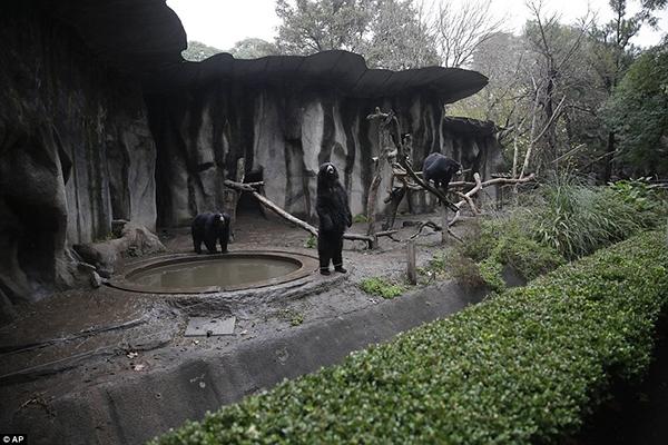 Một nhóm 3 chú gấu đen với vẻ mặt đau buồn đang hướng ánh mắt ra bên ngoài khu nuôi nhốt của mình.