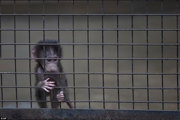 Chú khỉ con đáng thương đang nhìn ra ngoài chuồng trong lúc hai tay bấu vào song sắt.