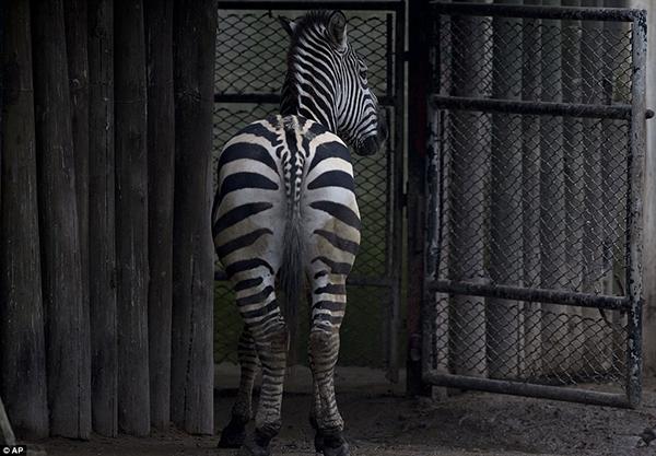 Có thể nói các loài vật tại vườn thú sắp được trả tự do, không còn phải chịu cảnh nuôi nhốt làm trò mua vui cho con người nữa.