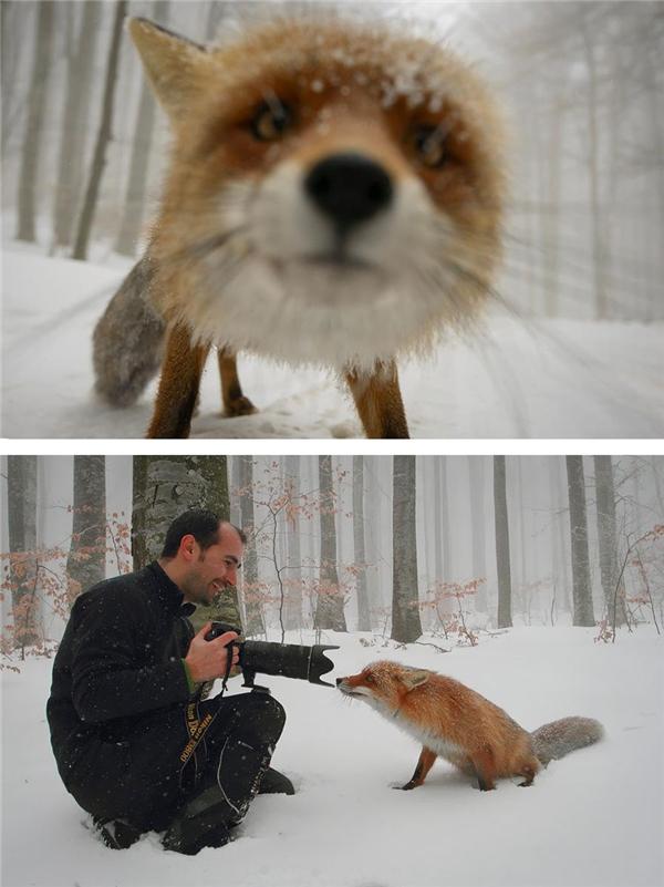"""Một chú cáo xinh đẹp, tò mò đã bị """"bắt trọn khoảnh khắc"""".(Ảnh: Bored Panda)"""