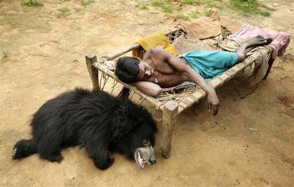 Cảm động gia đình Ấn Độ nhận nuôi gấu lợn như con ruột