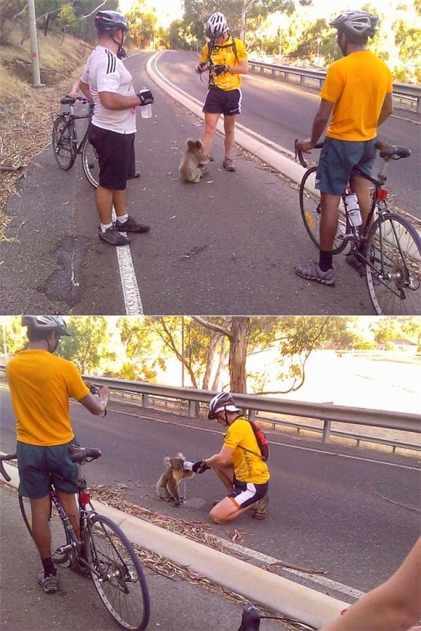 Hai vận động viên đua xe đạp dừng lại giữa đường để đút nước cho một chú gấu túi bị khát và kiệt sức.