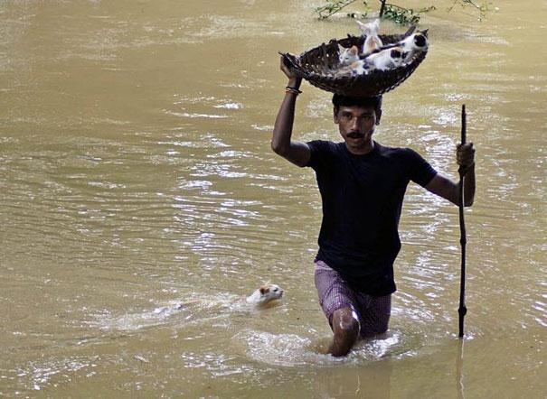 Một người đàn ông đội rổ mèo con băng ra khỏi vùng nước lụt. Con mèo mẹ dưới chân ông cố gắng bơi theo các con mình.