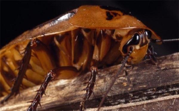 """Giàn là """"siêu nhân"""" trong thế giới côn trùng."""