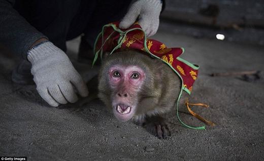 Những chú khỉ bị hành hạ không thương tiếc.