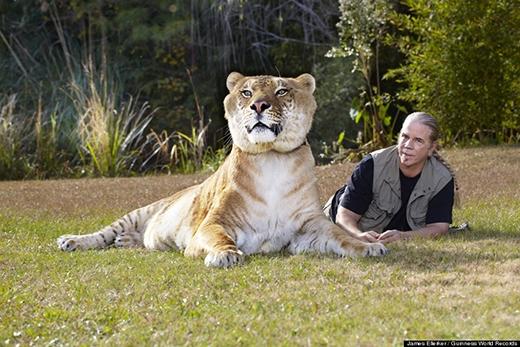 Con mèo lớn nhất thế giới: Đứa con lai giữa sư tử và hổ