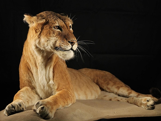 """Hình ảnh một chú """"tigon"""" với kích thướcnhỏ hơn hẳn so với """"liger"""""""