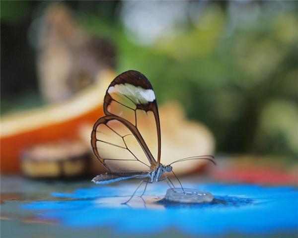 Bướm cánh gương: thường xuất hiện ở Columbia, Bolivia, Peru, và Ecuador, loài bướm này có đôi cánh trong suốt như pha lê, giúp chúng dễ dàng thoát khỏi sự truy đuổi của kẻ thù.
