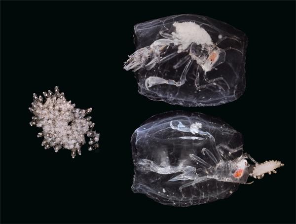 Phronima: sinh vật này có hình dạng khá giống tôm, sống ở những vùng biển sâu, có kích thước rất nhỏ, dài không quá 2,5cm. Thức ăn của Phronima là các con salp, chúng sẽ ăn thịt từ bên trong cơ thể chúng, sau đó đẻ trứng luôn ở phần vỏ xác còn lại để làm nơi trú ẩn di động cho các con của nó sau này.