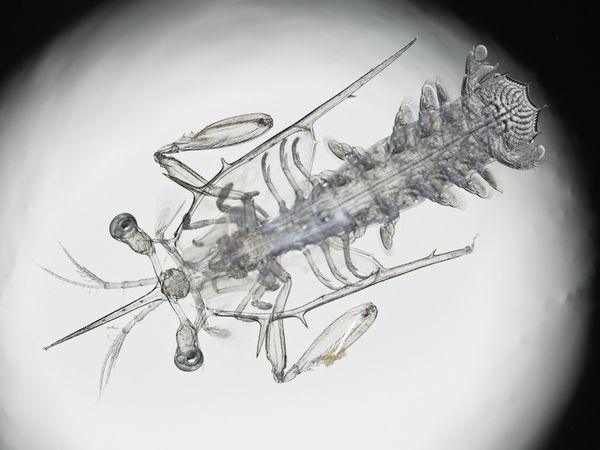 Ấu trùng tôm tít: lúc còn nhỏ nó trông mỏng manh dễ vỡ với ngoại hình trong suốt, nhưng khi trưởng thành, chiếc chân trước hình búa của nó có thể tung ra một cú đấm với vận tốc 23m trên giây, khiến cho phần vỏ của một con ốc sên nát vụn.