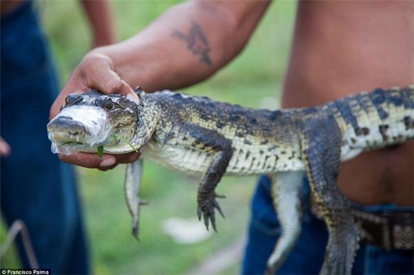 Sắn bắt cá sấu con vẫn diễn ra hằng ngày tại Mexico.