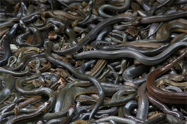 Ở đây, có đến 400.000 con rắn cực độc.