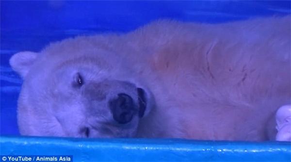 Việc phải sống một mình trong môi trường nuôi nhốt, lại bị đem ra làm trò cho những con người vô tâm đã đẩy chú gấu vào tình cảnh này.