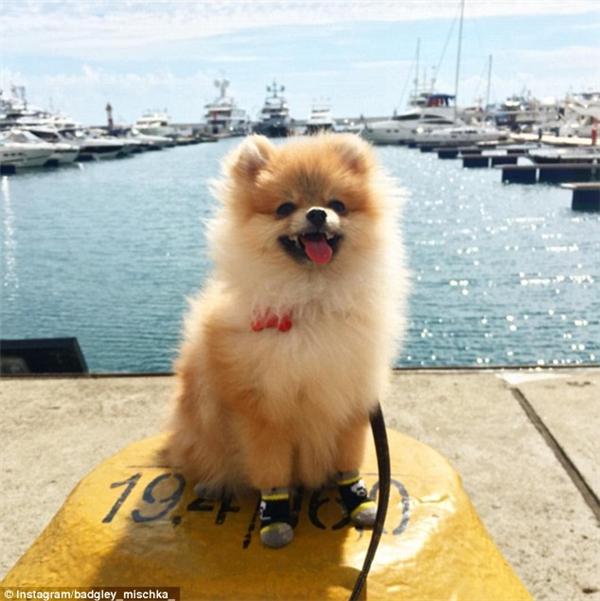 Em phốc sóc Badgley Mischka 6 tháng tuổi lại được chủ dắt đi phơi nắng tại cảng biển Sochi. Các bạn có để ý thấy 4 chiếc vớ xám-đen xinh xắn của bé cưng không? Thời thượng quá đấy chứ. (Nguồn IG badgley_mischka_)