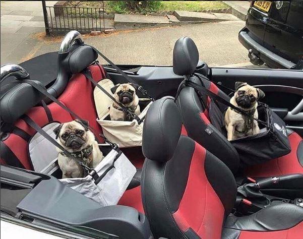 Ba anh em nhà pug này đã sẵn sàng cho một chuyến vi vu lộng gió trên chiếc xe thể thao mui trần đắt tiền. (Nguồn IG Rich Dogs of London)