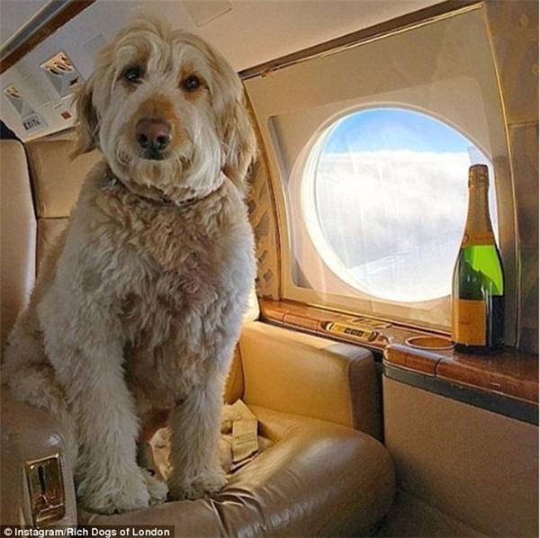 """Lại thêm một chú chó khác tận hưởng sự êm dịu của ghế bọc da trong máy bay tư nhân này. Tấm ảnh này được đăng lên IG với dòng chú thích cực sốc là: """"Phương tiện công cộng? Không, cảm ơn. Tôi chỉ đi máy bay tư nhân thôi"""". (Nguồn IG Rich Dogs of London)"""