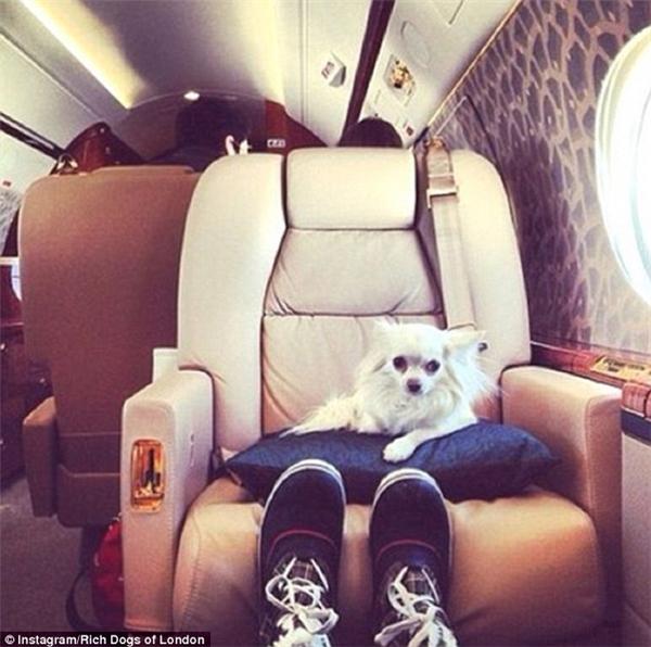 Với những chú chó được cưng chiều như thế này thì cái ghế da mềm mại, êm ấm trên máy bay tư nhân chỉ là chiếc ghế ngồi thường ngày thôi. (Nguồn IG Rich Dogs of London)