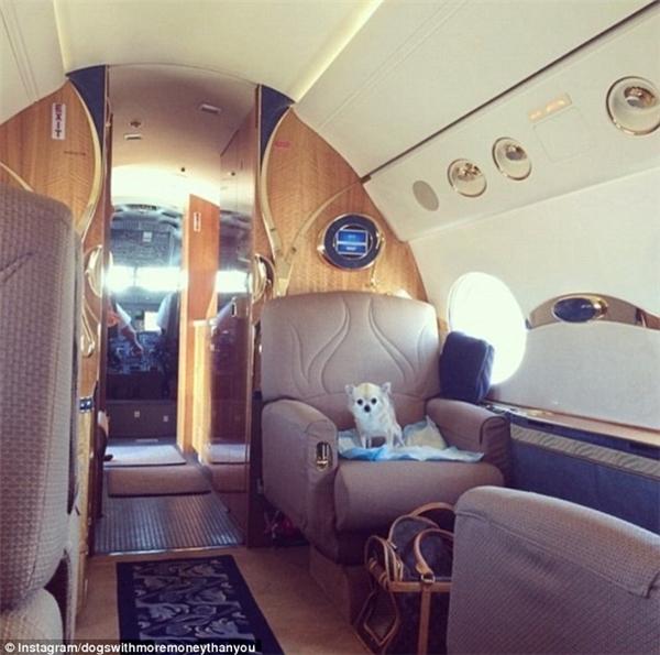 Lại thêm một bạn chó Chihuahua - Daisy đi du lịch bằng máy bay tư nhân nè. (Nguồn IG dogswithmoremoneythanyou)
