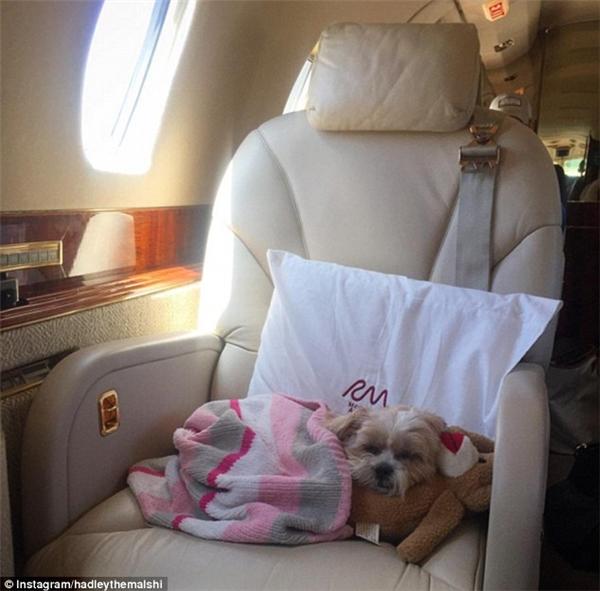 Chơi đã rồi, mệt rồi, phải dành thời gian ra để nghỉ lại sức thôi. Hadley Sawyer Cavender (giống chó Maltese) đang ngủ trưa trên chiếc máy bay tư nhân của chủ sau chuyến du hí Aspen vui vẻ đây. (Nguồn IG hadleythemalshi)