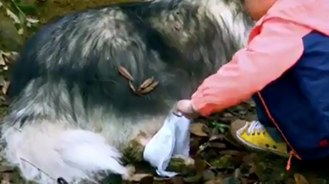 Cậu bé chăm sóccho con sói bị mắc bẫy không chút sợ sệt. (Ảnh: Cắt từ clip)