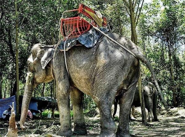 Sự thật kinh hoàng đằng sau những chú voi du lịch tại Thái Lan