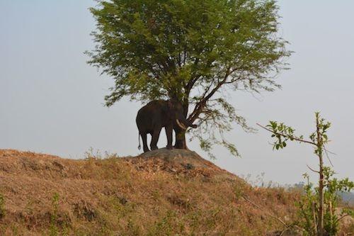 Một con voi đang bị xích dưới cái nắng 39 độ. (Ảnh: Internet)