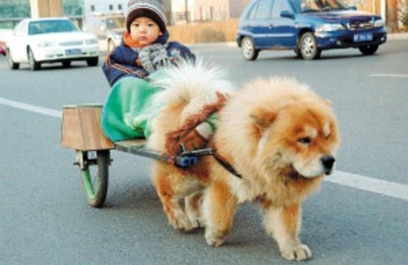 ...nhưng khi lớn lên lại biết kéo xe chở cậu chủ nhỏ đi chơi đấy nhé.