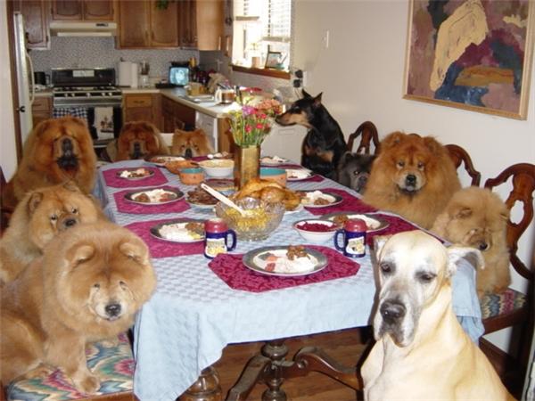 """Cả một gia đình Chow Chow được """"con sen"""" hầu hạ tận răng thế này đây, lại còn hầu cả bạn chúng nó rủ sang nữa chứ."""